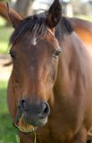 Talking horse. A horse eating grass but looks like it is talking and has something to say Stock Photos