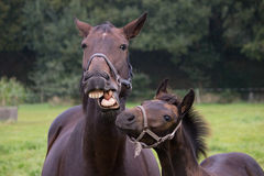 Talking horse with foal royalty free stock image