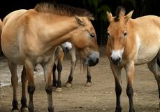 Talking horses Royalty Free Stock Photography