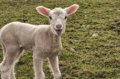 Talking lamb Royalty Free Stock Images