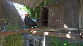 Talking myna bird in cage stock video