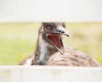 Talking ostrich Royalty Free Stock Photography