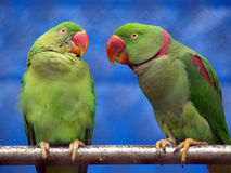 Talking parrot Royalty Free Stock Image
