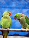 Talking parrot Stock Image