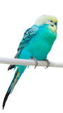 Talking parrot Royalty Free Stock Photography