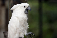Talking Parrot. Closeup of a White Cockatoo.  He is talking and his beak is wide open Royalty Free Stock Photography