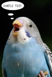 Talking Parrot. With balck background Stock Image