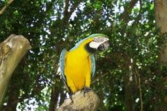Talking parrot. Royalty Free Stock Photos