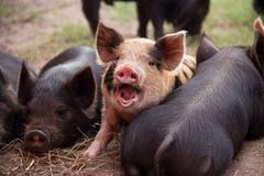 The Talking Piglet Stock Photography