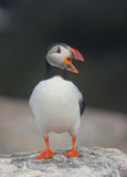 Talking Puffin Royalty Free Stock Photo