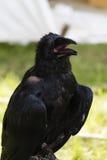 Talking raven Stock Image