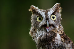 Talking screech owl. A closeup of a screech owl Royalty Free Stock Photography