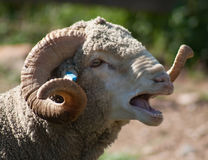 Talking Sheep Royalty Free Stock Images