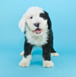 Talking Sheepdog Puppy royalty free stock images