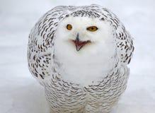 Talking Snowy Owl Stock Photo