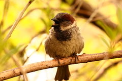 Talking sparrow Stock Images