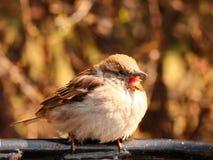 Talking sparrow Royalty Free Stock Photos