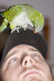 Talking To The Animals. Bird Squawks In Bird Conversation To A Man While Standing On His Cap Indoors In A Talking To The Animals Image Stock Images