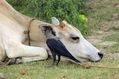Talking to his friend. A crow is whispering with a cow Stock Image