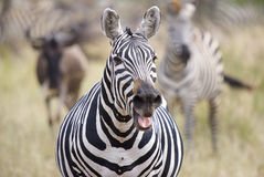 Talking zebra. Zebra with mouth open in background blurred zebras Stock Images