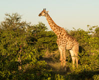 Tall african giraffe looking down at camera Royalty Free Stock Images