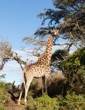 Tall african giraffe looking down at camera Royalty Free Stock Image
