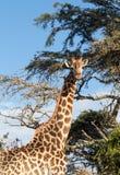 Tall african giraffe looking down at camera Royalty Free Stock Photo