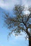 A tall almond tree and sky. A tall almond tree with a blue sky behind Stock Photo