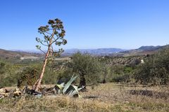 Scenic Andalucian landscape under a blue sky. A tall aloe vera plant on a hill overlooking olive groves and mountains in andalucia spain under a blue sky Stock Photos