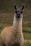 Tall alpaca baby. Alpaca baby in the wilderness of Cajas National Park, Ecuador Stock Image