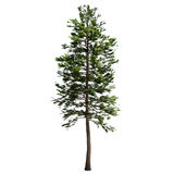 Tall American Pine Tree Isolated. On white Royalty Free Stock Photos