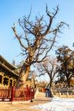 Tall ancient cypress tree Stock Photo