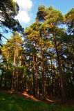Tall ancient pines in the wood in summer, The New Forest, England Royalty Free Stock Photography