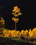 Tall Aspen 2 Royalty Free Stock Photo