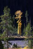 Tall Aspen tree Stock Photography