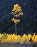 Tall Aspen Tree. A tall aspen tree in the White River National Forest of Colorado stock images