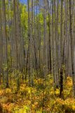 Tall Aspen trees Stock Photo