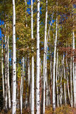 Tall Aspen trees Royalty Free Stock Photography