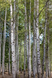 Tall aspen trees. Royalty Free Stock Photo
