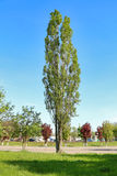 Tall aspen in young green spring leafy foliage Royalty Free Stock Images