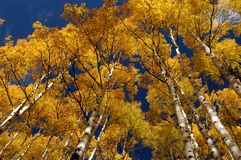 Tall Aspens stock photo