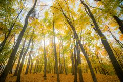 Tall autumn golden trees. Ultra wide angle royalty free stock photos