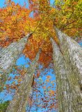 Tall autumn Red Maple trees (Acer rubrum) Stock Photos