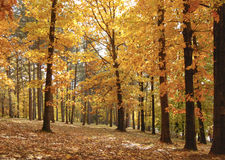 Tall autumn trees in the park. Forest with yellow and orange leaves with dark bark royalty free stock photos