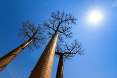 Tall backlit baobabs Royalty Free Stock Photos
