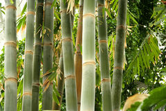 Tall bamboo Stock Photo