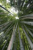 Tall bamboo forest Royalty Free Stock Images