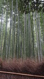 Tall bamboo trees Stock Images