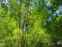 Tall bamboo trees in woods, with sunlight  in tropical forest. Royalty Free Stock Photo
