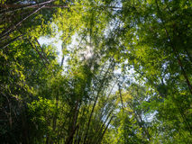 Tall bamboo trees in woods, with sunlight. Stock Photography